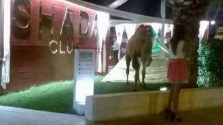 """Telefonata alla forestale: """"Correte, ci sono i cammelli in discoteca"""""""