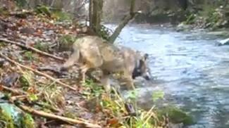 Uccisa la lupa dei Sibillini, grazie al suo aiuto è stato scoperto un bracconiere