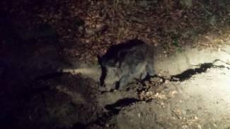 Cinghiali, caprioli e lupi sui colli a due passi dalla città, guarda il video